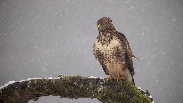 Poiana euroasiatica sul ramo in inverno in nevicate
