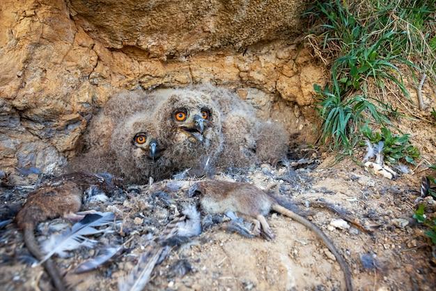 Pulcini euroasiatici del gufo reale che guardano dal nido in scogliera rocciosa
