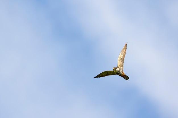 Hobby eurasiatico, falco subbuteo in volo con cielo azzurro e nuvole bianche
