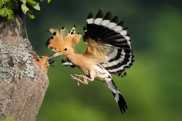 Upupa eurasiatica che alimenta il pulcino in volo nella natura di estate.