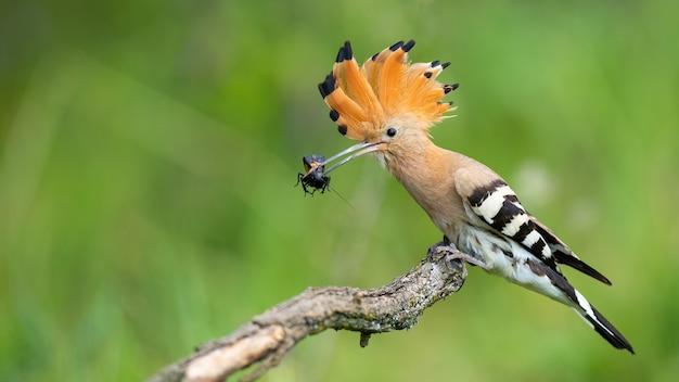 Upupa eurasiatica che si siede sul ramo nella natura di estate