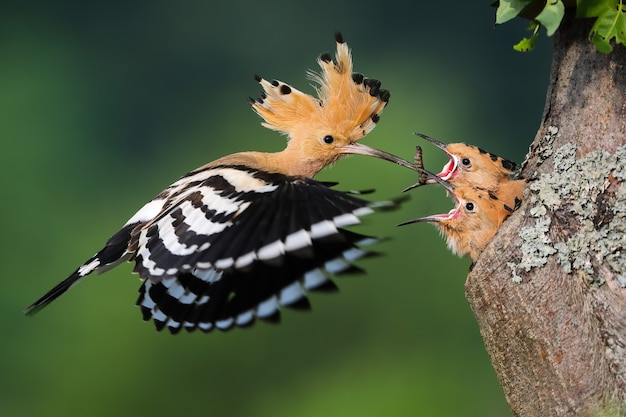 Upupa eurasiatica, upupa epops, alimentazione pulcino all'interno dell'albero nella natura estiva. piccoli uccelli che mangiano dalla madre dal buco nel legno durante l'estate. animale piumato con cresta in volo con verme nel becco.