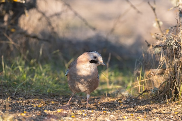 Eurasian jay garrulus glandarius. uccello vicino.