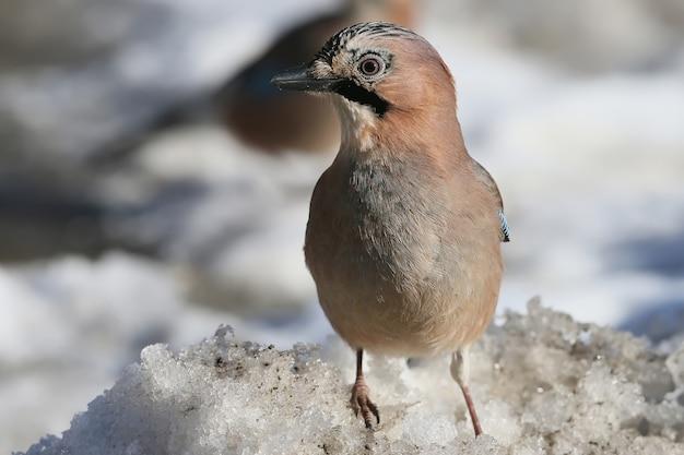 La ghiandaia eurasiatica si siede su come ora con semi di girasole e altri.