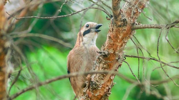 Ghiandaia euroasiatica seduta sul ceppo dell'albero