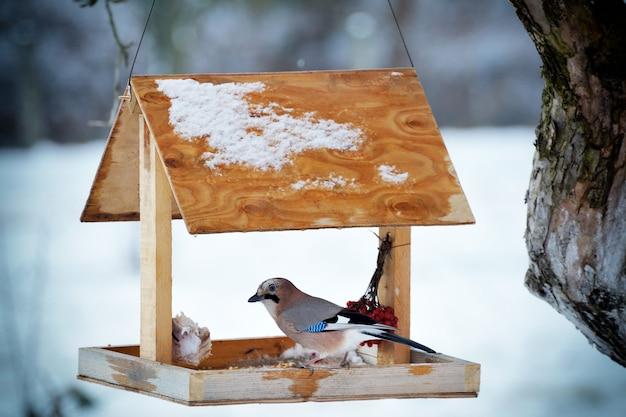 Jay euroasiatica sul primo piano della mangiatoia per uccelli invernali.