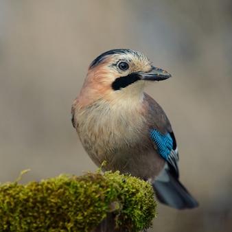 Ghiandaia euroasiatica sulla mangiatoia per uccelli invernale