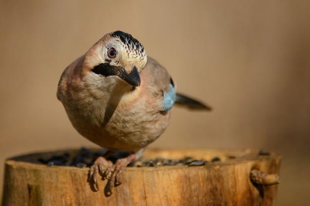 Ghiandaia euroasiatica sulla mangiatoia per uccelli invernali