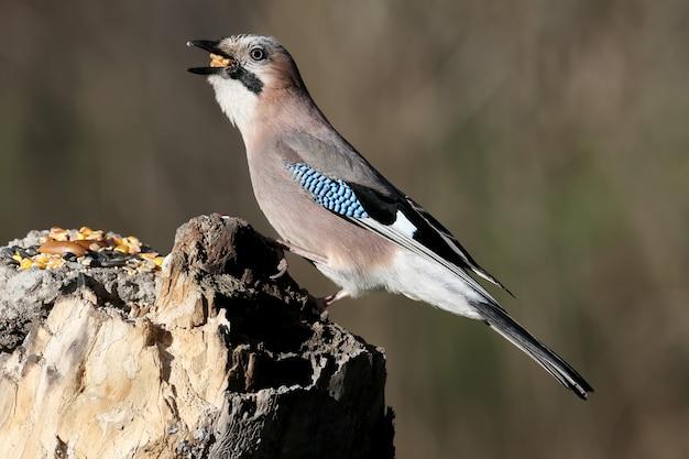 La ghiandaia eurasiatica con una noce nel becco siede su una mangiatoia verticale su uno sfocato. i dettagli del piumaggio e le caratteristiche distintive dell'uccello sono chiaramente visibili.