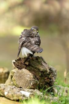 Eurasian sparviero femmina adulta al suo solito trespolo nelle luci del tardo pomeriggio