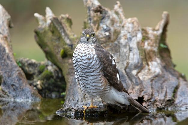 Eurasian sparviero femmina adulta in una piscina naturale di acqua con le ultime luci del pomeriggio