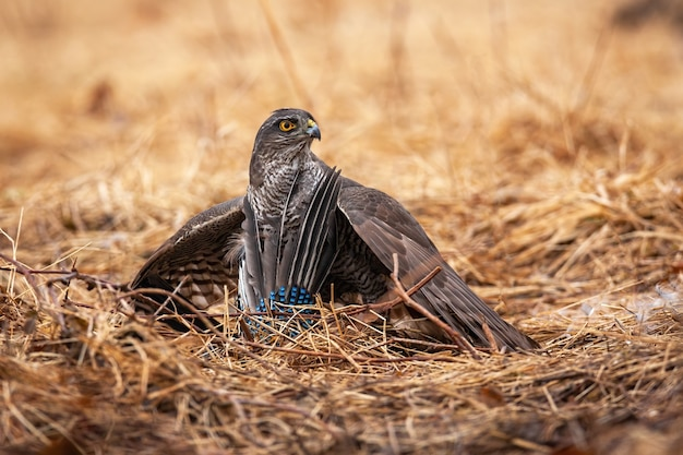 Sparviero eurasiatico seduto sul campo con la preda
