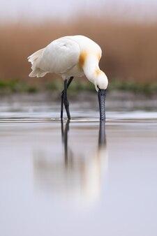 Spatola euroasiatica guadare in acqua in ripresa verticale