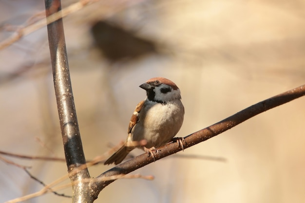 Eurasian tree sparrow - passer montanus su un ramo