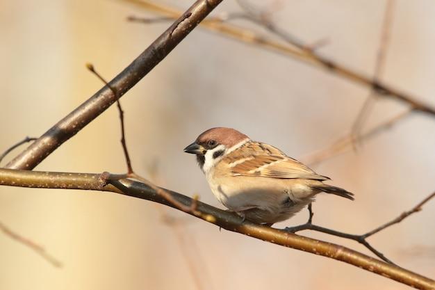 Eurasian tree sparrow (passer montanus) su un ramoscello
