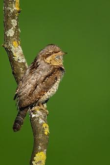 Torcicollo eurasiatico che guarda sull'albero in estate in ripresa verticale