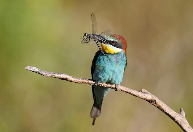 Il gruccione europeo si siede su un ramo e tiene nel becco una grande libellula