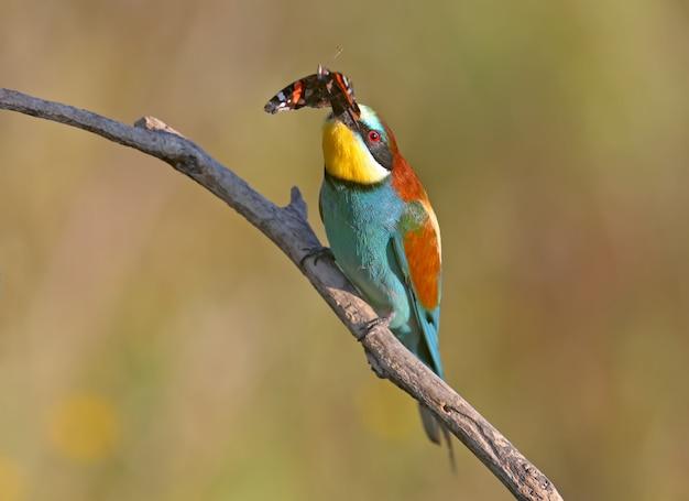 Il gruccione europeo si siede su un ramo e tiene nel becco una grande farfalla rossa chiamata admiral