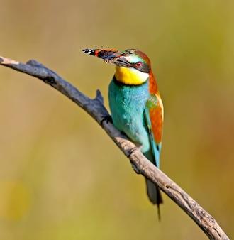 Il gruccione europeo si siede su un ramo e tiene nel becco una grande farfalla rossa