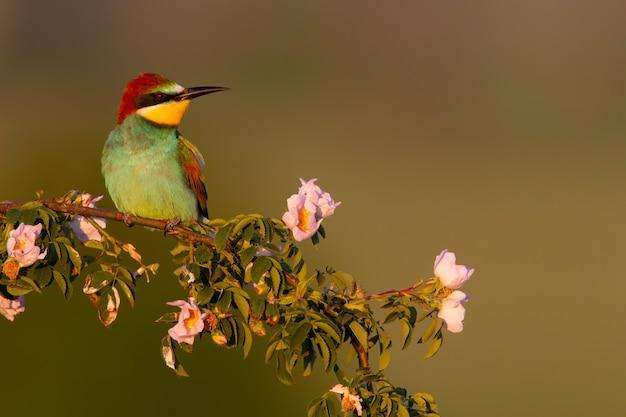 Gruccione europeo seduto sul ramo fiorito in estate