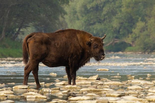 Bisonte europeo in piedi sulle rocce in acqua in estate