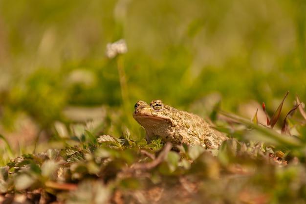 Rospo comune europeo, bufo bufo seduto in erba.