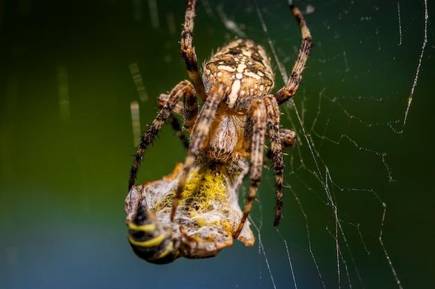 Ragno europeo del giardino che mangia una vespa