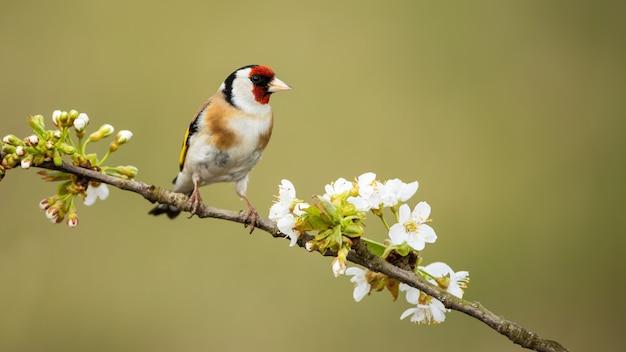 Il maschio del cardellino europeo si è appollaiato sul ramoscello con i fiori fiorenti in primavera