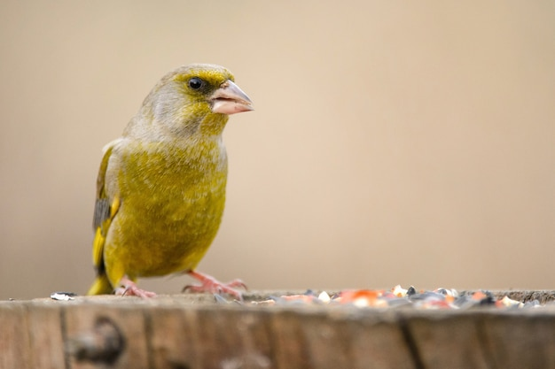 Fringuello verde europeo carduelis chloris sulla mangiatoia per uccelli invernali