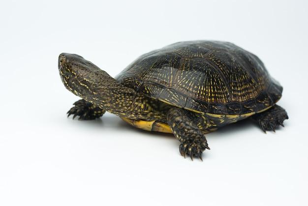 Tartaruga palustre europea isolata su sfondo bianco studio shoot