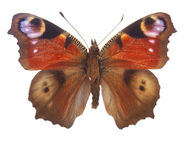 Farfalla pavone europea isolata su bianco