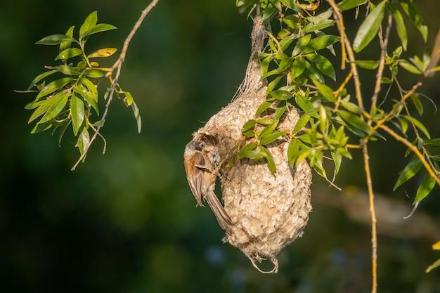 Cinciallegra europea sul nido