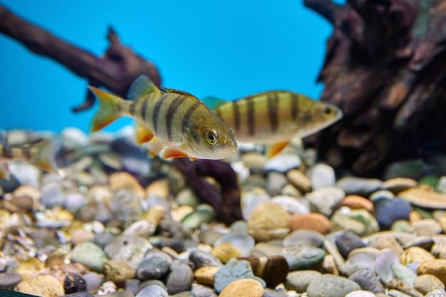 Pesce persico europeo o perca fluviatilis in acquario pubblico.