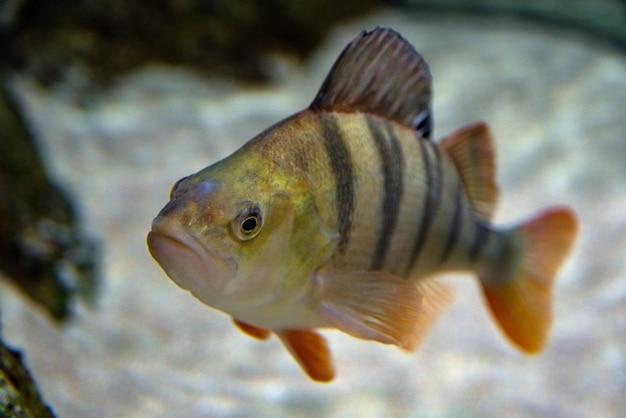 Pesce persico europeo - perca fluviatilis, ripresa subacquea di pesce persico maturo.