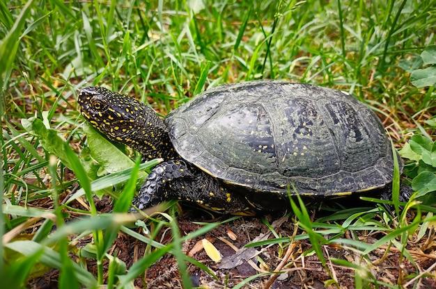 La tartaruga palustre europea (emys orbicularis) sull'erba