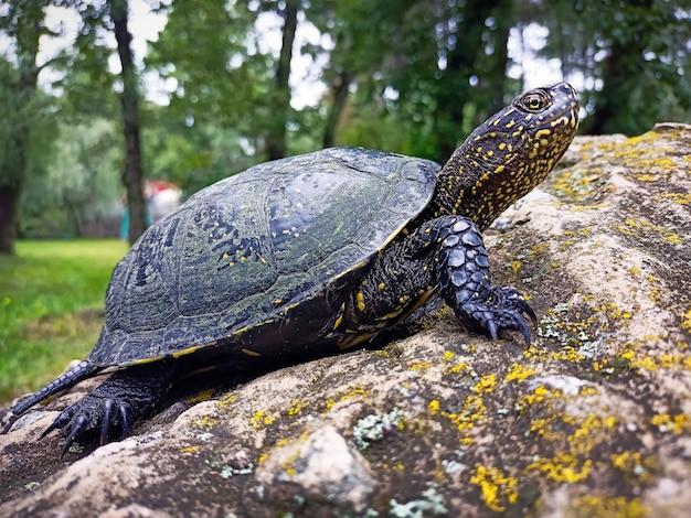 La tartaruga palustre europea (emys orbicularis) sulla pietra del parco
