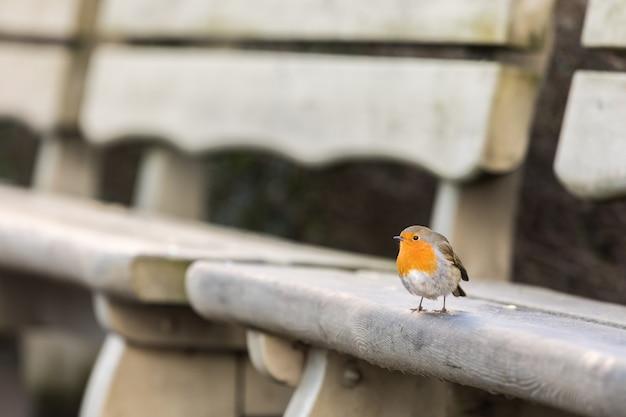 Robin europeo, erithacus rubecula, seduto su una panchina in inverno