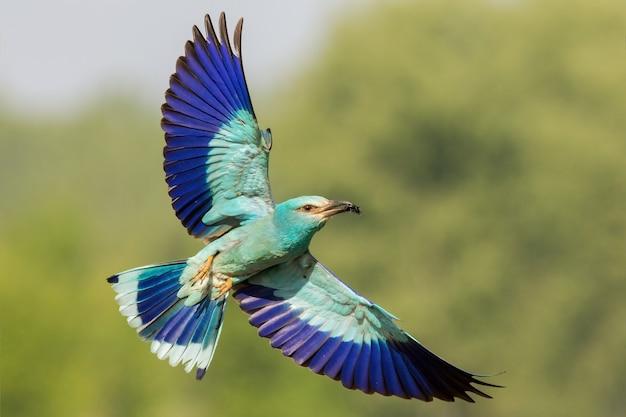 Il rullo europeo che vola con le ali aperte e lo sfondo sfocato verde
