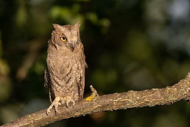 Assiolo europeo otus scops, seduto nella foresta su un ramo.