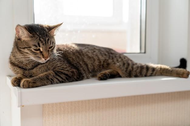 Il gatto european shorthair giace pacificamente sul davanzale della finestra