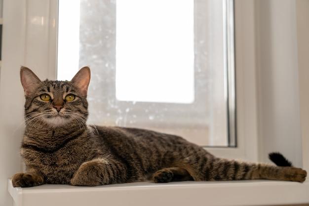 Il gatto europeo a pelo corto giace rilassato sul davanzale della finestra con gli occhi aperti
