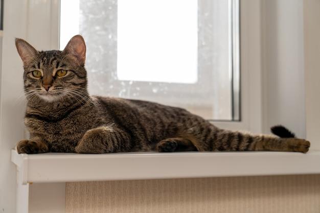 Il gatto europeo a pelo corto giace sul davanzale della finestra e guarda attentamente davanti a lui