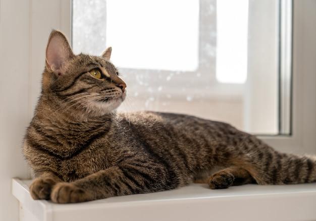 Gatto european shorthair sdraiato sul davanzale della finestra