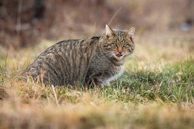 Gatto selvatico europeo che mostra la lingua mentre caccia sul prato in autunno