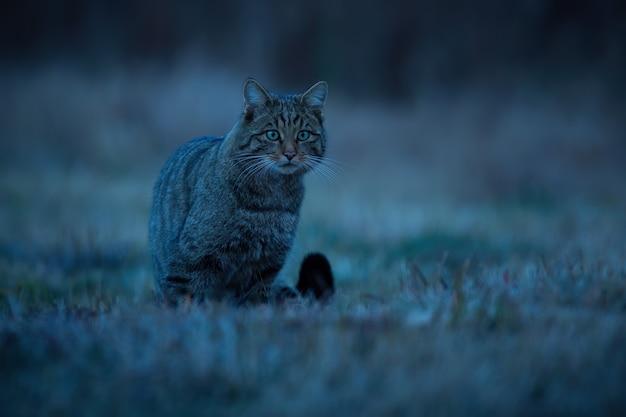 Gatto selvatico europeo seduto sulla prateria di notte dalla parte anteriore Foto Premium