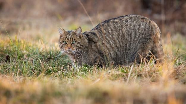 Gatto selvatico europeo che si intrufola sui prati nella natura primaverile