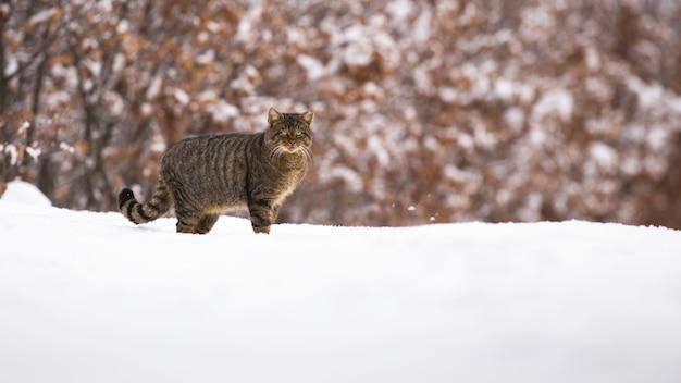 Gatto selvatico europeo in piedi su un prato coperto di neve in inverno