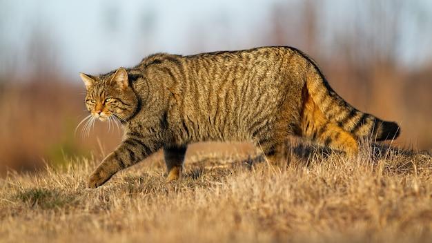 Gatto selvatico europeo che cammina sul prato in autunno