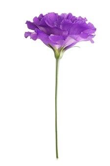 Fiore di eustoma isolato su priorità bassa bianca.