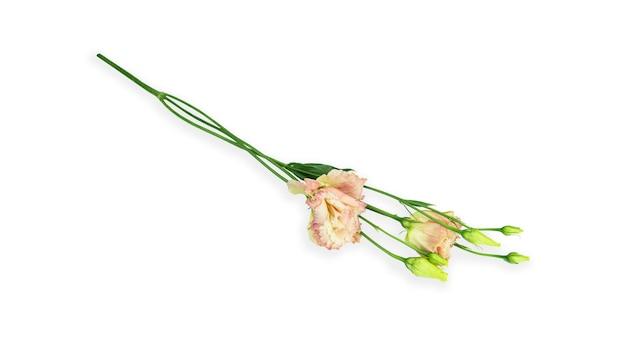 Fiore di eustoma su sfondo bianco